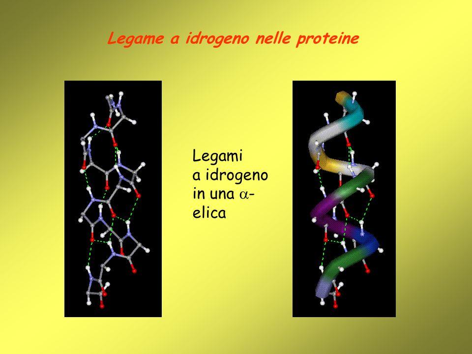 Legame a idrogeno nelle proteine Legami a idrogeno in una - elica