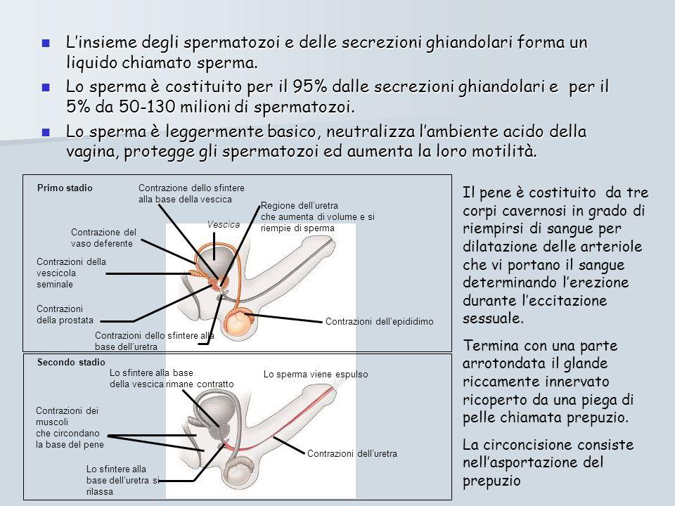 Linsieme degli spermatozoi e delle secrezioni ghiandolari forma un liquido chiamato sperma.