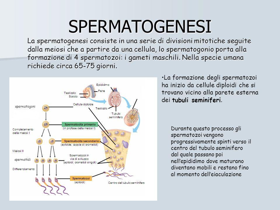 SPERMATOGENESI La spermatogenesi consiste in una serie di divisioni mitotiche seguite dalla meiosi che a partire da una cellula, lo spermatogonio porta alla formazione di 4 spermatozoi: i gameti maschili.