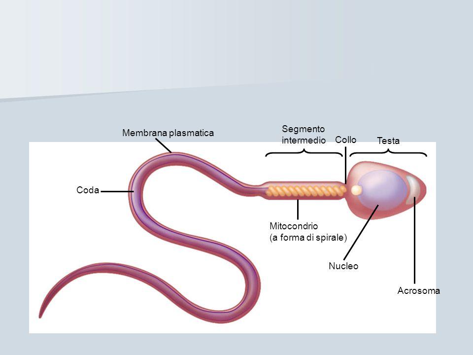 Membrana plasmatica Segmento intermedio Testa Collo Mitocondrio (a forma di spirale) Nucleo Acrosoma Coda