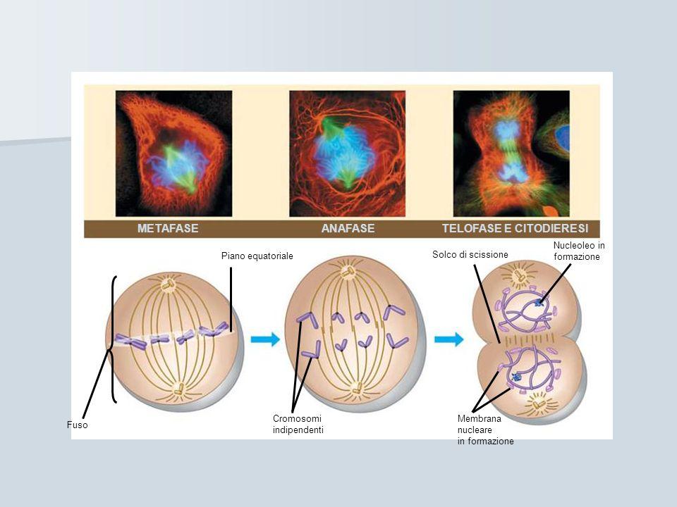 METAFASE ANAFASE TELOFASE E CITODIERESI Fuso Piano equatoriale Cromosomi indipendenti Membrana nucleare in formazione Solco di scissione Nucleoleo in formazione