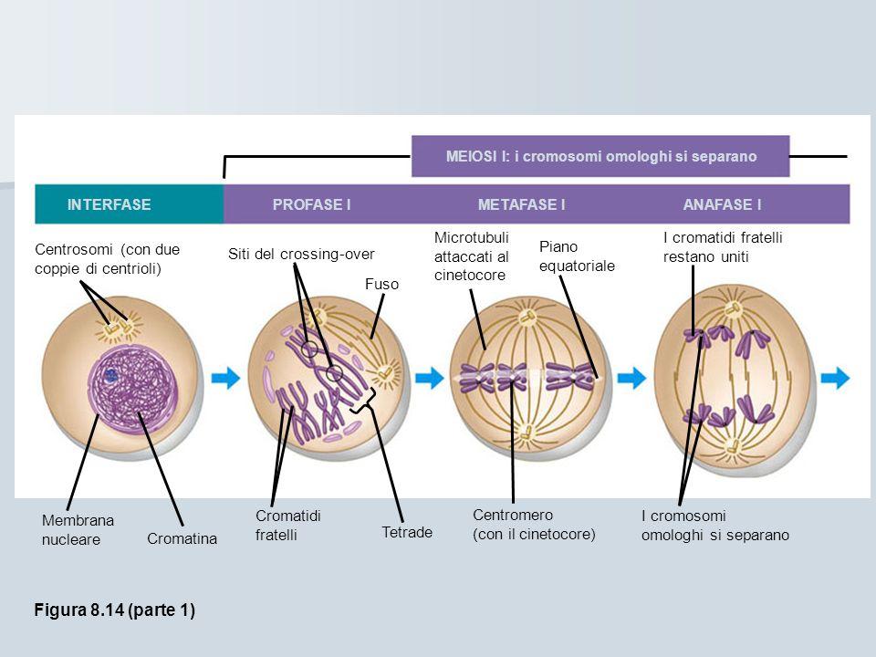 Le fasi della meiosi: Le fasi della meiosi: MEIOSI I: i cromosomi omologhi si separano INTERFASE PROFASE I METAFASE I ANAFASE I Centrosomi (con due coppie di centrioli) Siti del crossing-over Fuso Microtubuli attaccati al cinetocore Piano equatoriale I cromatidi fratelli restano uniti Membrana nucleare Cromatina Cromatidi fratelli Tetrade Centromero (con il cinetocore) I cromosomi omologhi si separano Figura 8.14 (parte 1)
