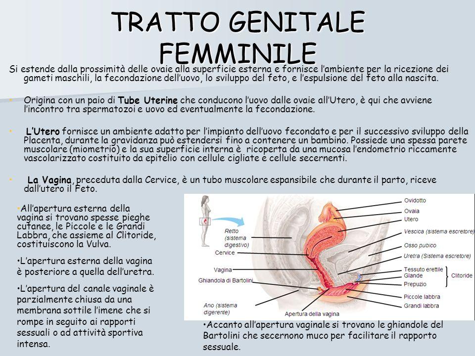 TRATTO GENITALE FEMMINILE Si estende dalla prossimità delle ovaie alla superficie esterna e fornisce lambiente per la ricezione dei gameti maschili, la fecondazione delluovo, lo sviluppo del feto, e lespulsione del feto alla nascita.