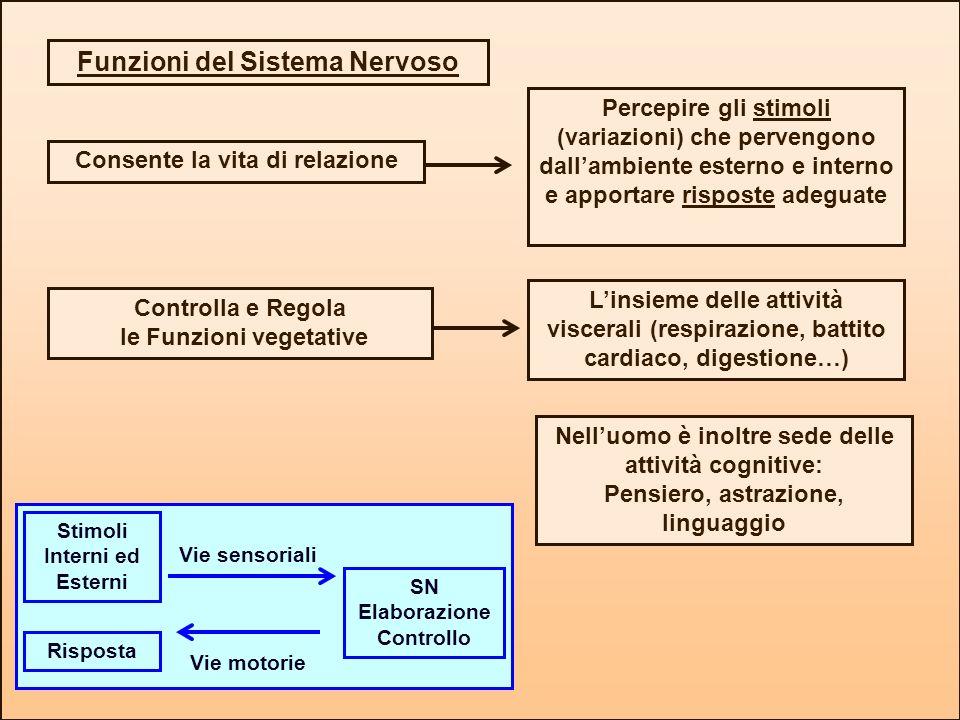 Funzioni del Sistema Nervoso Consente la vita di relazione Percepire gli stimoli (variazioni) che pervengono dallambiente esterno e interno e apportar