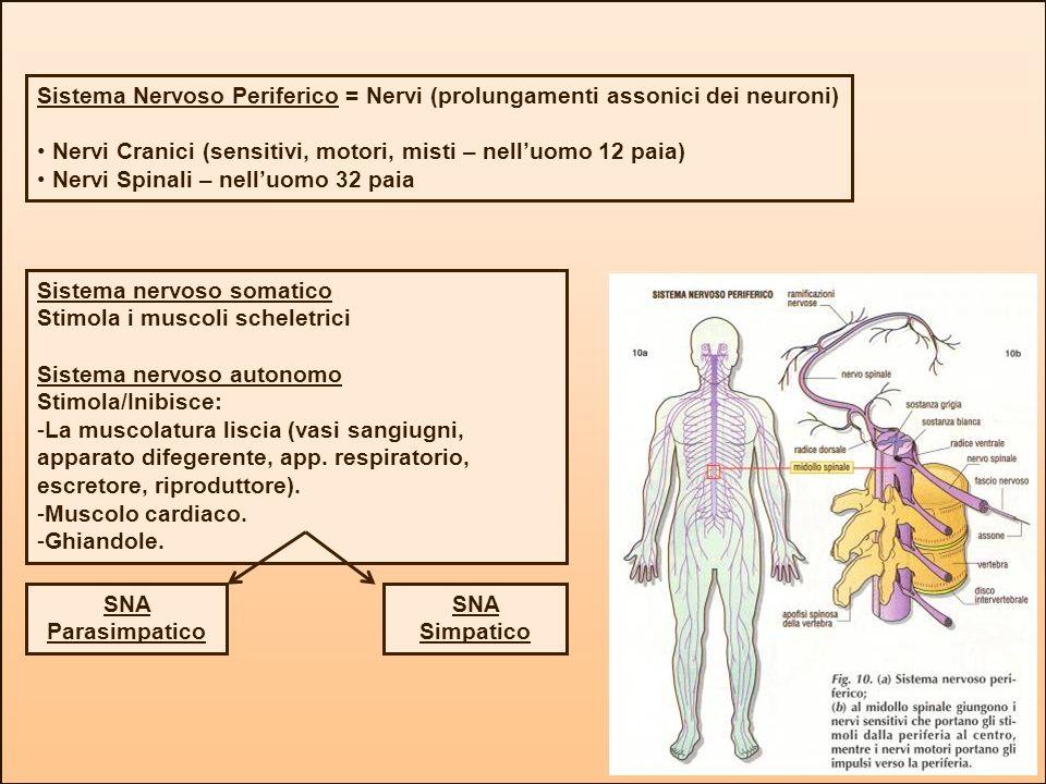 Sistema Nervoso Periferico = Nervi (prolungamenti assonici dei neuroni) Nervi Cranici (sensitivi, motori, misti – nelluomo 12 paia) Nervi Spinali – ne