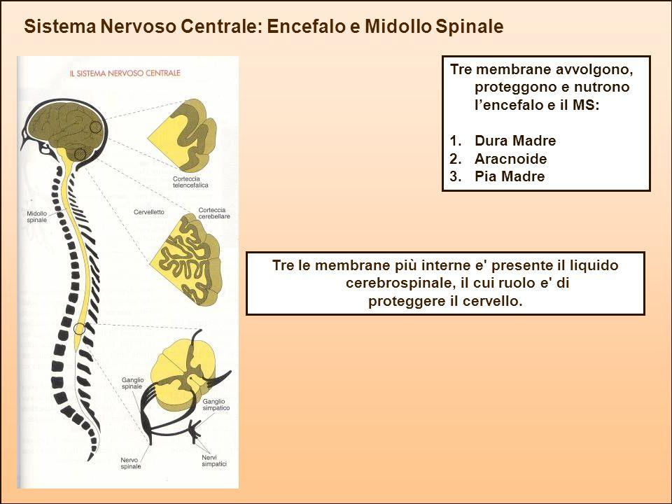 Sistema Nervoso Centrale: Encefalo e Midollo Spinale Tre membrane avvolgono, proteggono e nutrono lencefalo e il MS: 1.Dura Madre 2.Aracnoide 3.Pia Ma