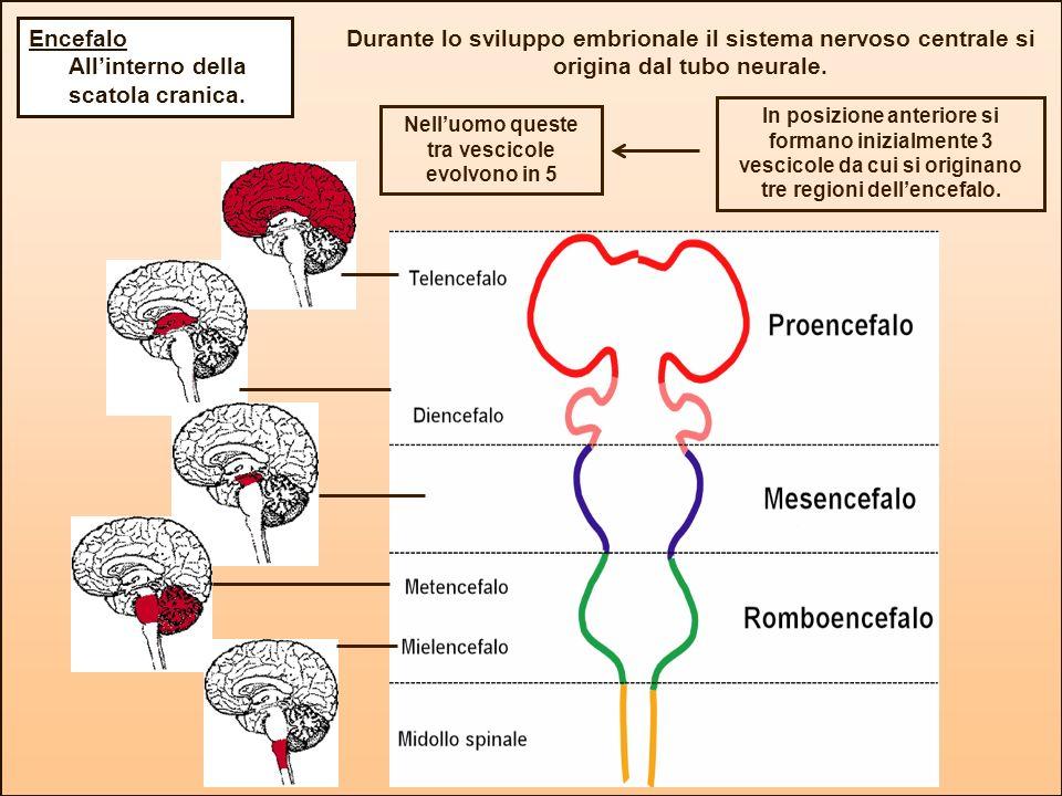 Durante lo sviluppo embrionale il sistema nervoso centrale si origina dal tubo neurale. Nelluomo queste tra vescicole evolvono in 5 In posizione anter