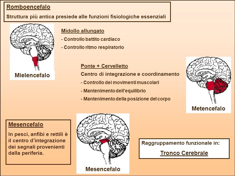 Mielencefalo Romboencefalo Struttura più antica presiede alle funzioni fisiologiche essenziali Metencefalo Midollo allungato - Controllo battito cardi