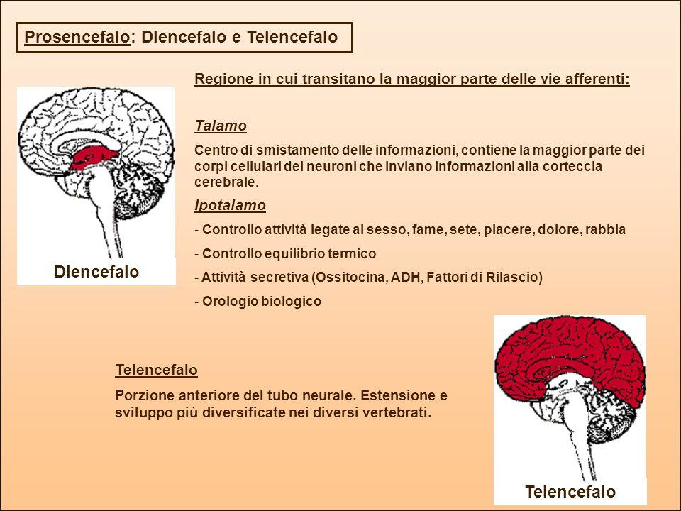 Prosencefalo: Diencefalo e Telencefalo Diencefalo Regione in cui transitano la maggior parte delle vie afferenti: Talamo Centro di smistamento delle i