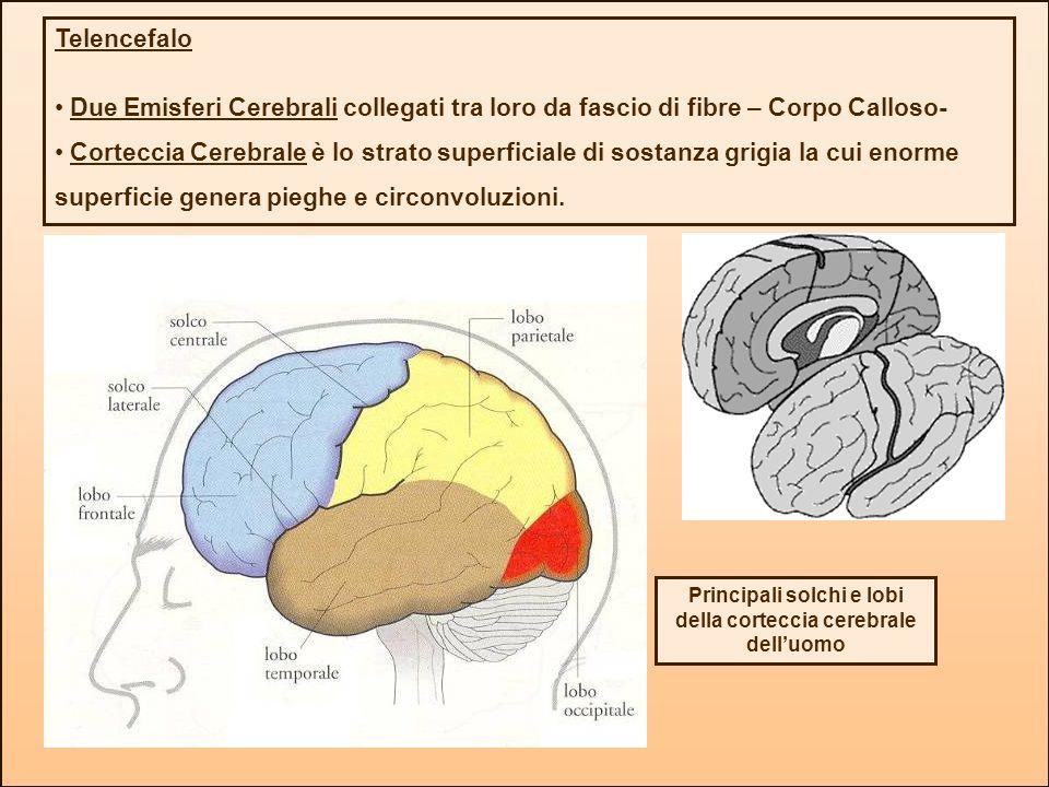 Telencefalo Due Emisferi Cerebrali collegati tra loro da fascio di fibre – Corpo Calloso- Corteccia Cerebrale è lo strato superficiale di sostanza gri