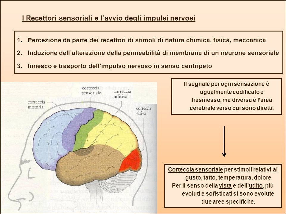 I Recettori sensoriali e lavvio degli impulsi nervosi 1.Percezione da parte dei recettori di stimoli di natura chimica, fisica, meccanica 2.Induzione