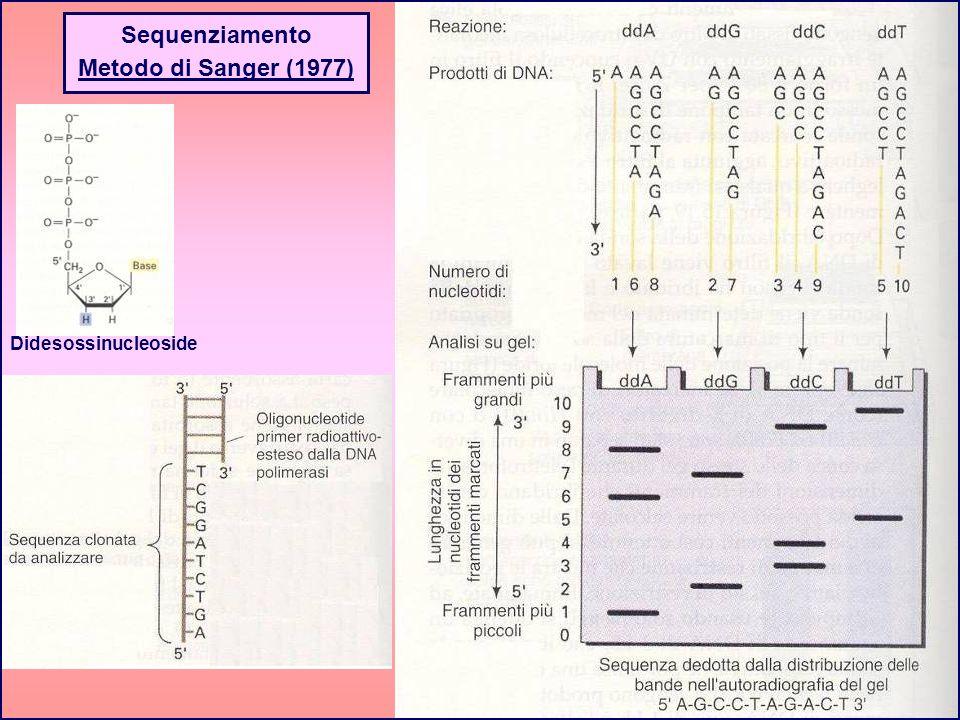 Sequenziamento Metodo di Sanger (1977) Didesossinucleoside