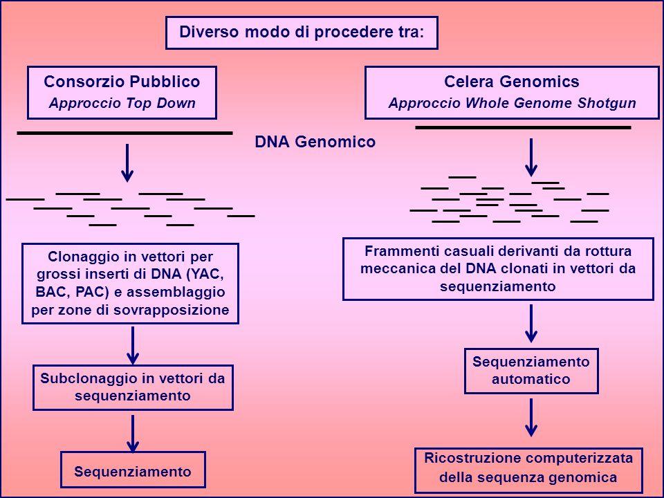 DNA Genomico Clonaggio in vettori per grossi inserti di DNA (YAC, BAC, PAC) e assemblaggio per zone di sovrapposizione Subclonaggio in vettori da sequ