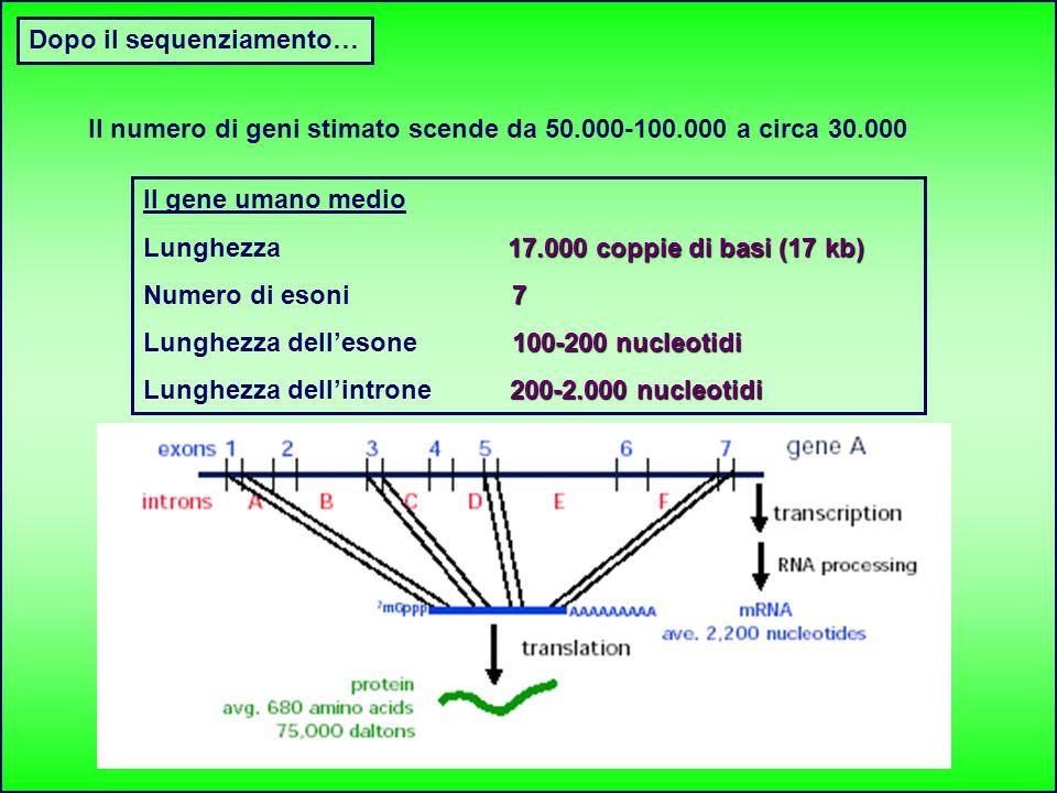 Dopo il sequenziamento… Il gene umano medio 17.000 coppie di basi (17 kb) Lunghezza 17.000 coppie di basi (17 kb) 7 Numero di esoni 7 100-200 nucleoti