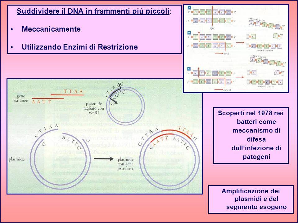 Suddividere il DNA in frammenti più piccoli: Meccanicamente Utilizzando Enzimi di Restrizione Amplificazione dei plasmidi e del segmento esogeno Scope