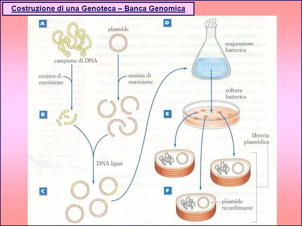Costruzione di una Genoteca – Banca Genomica