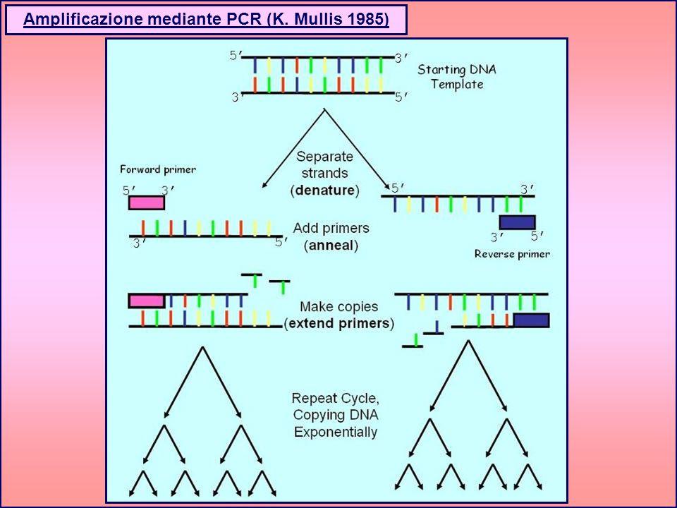 Amplificazione mediante PCR (K. Mullis 1985)