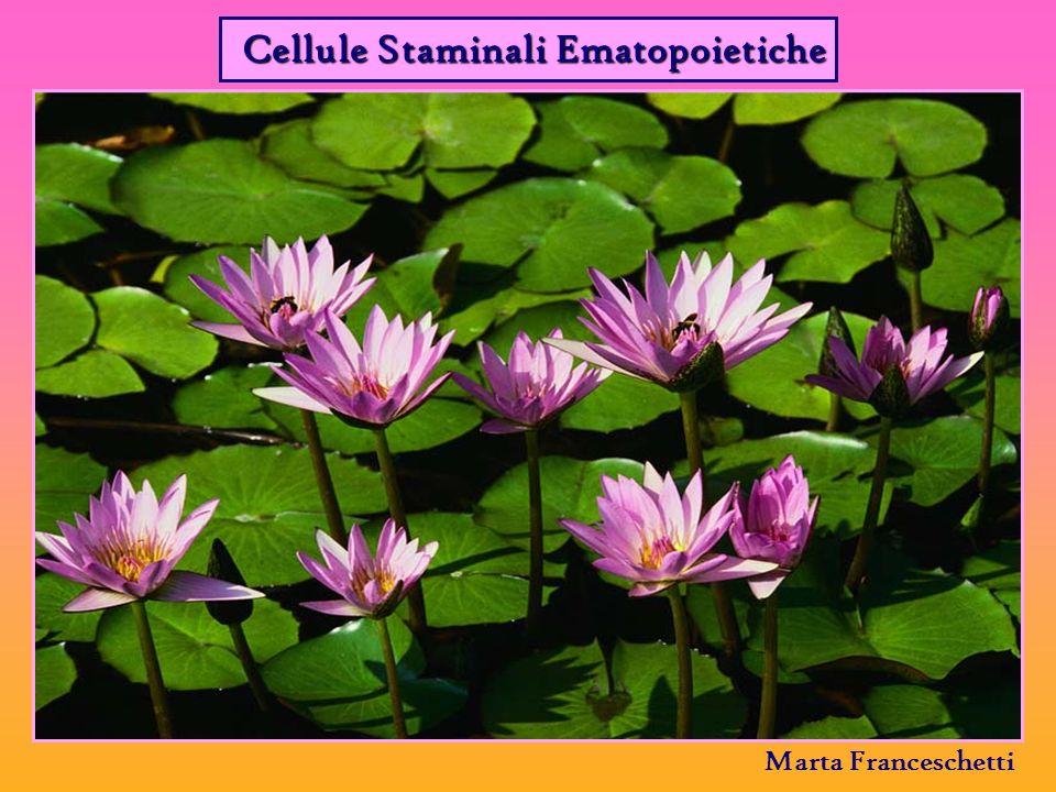 Cellule Staminali Ematopoietiche Marta Franceschetti