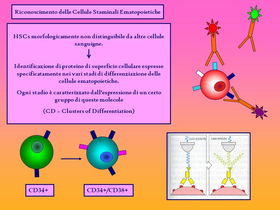 Riconoscimento delle Cellule Staminali Ematopoietiche HSCs morfologicamente non distinguibile da altre cellule sanguigne.
