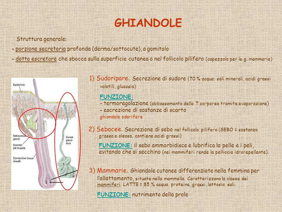 GHIANDOLE 2) Sebacee. Secrezione di sebo nel follicolo pilifero (SEBO = sostanza grassa e oleosa, contiene acidi grassi) FUNZIONE: il sebo ammorbidisc