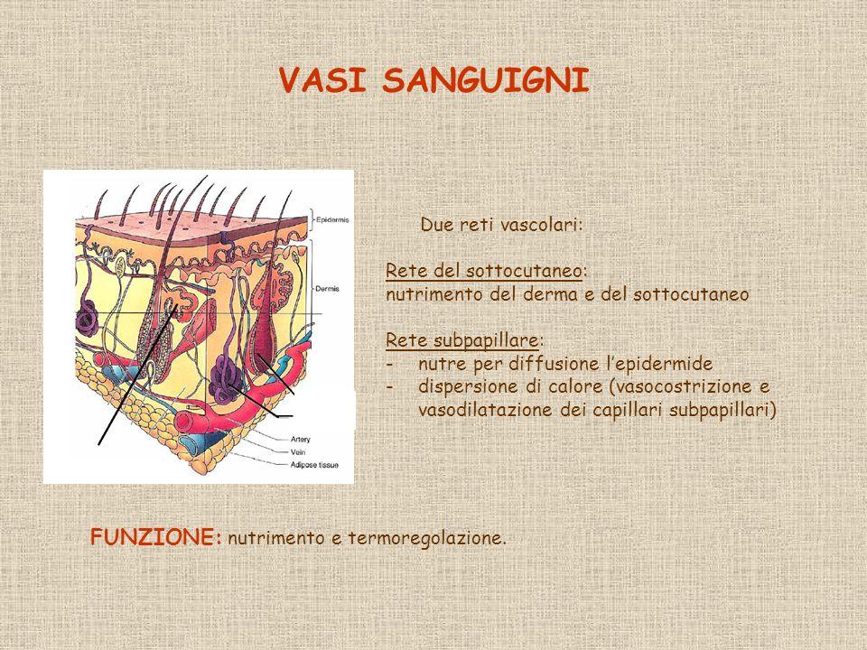 VASI SANGUIGNI Due reti vascolari: Rete del sottocutaneo: nutrimento del derma e del sottocutaneo Rete subpapillare: -nutre per diffusione lepidermide -dispersione di calore (vasocostrizione e vasodilatazione dei capillari subpapillari) FUNZIONE: nutrimento e termoregolazione.