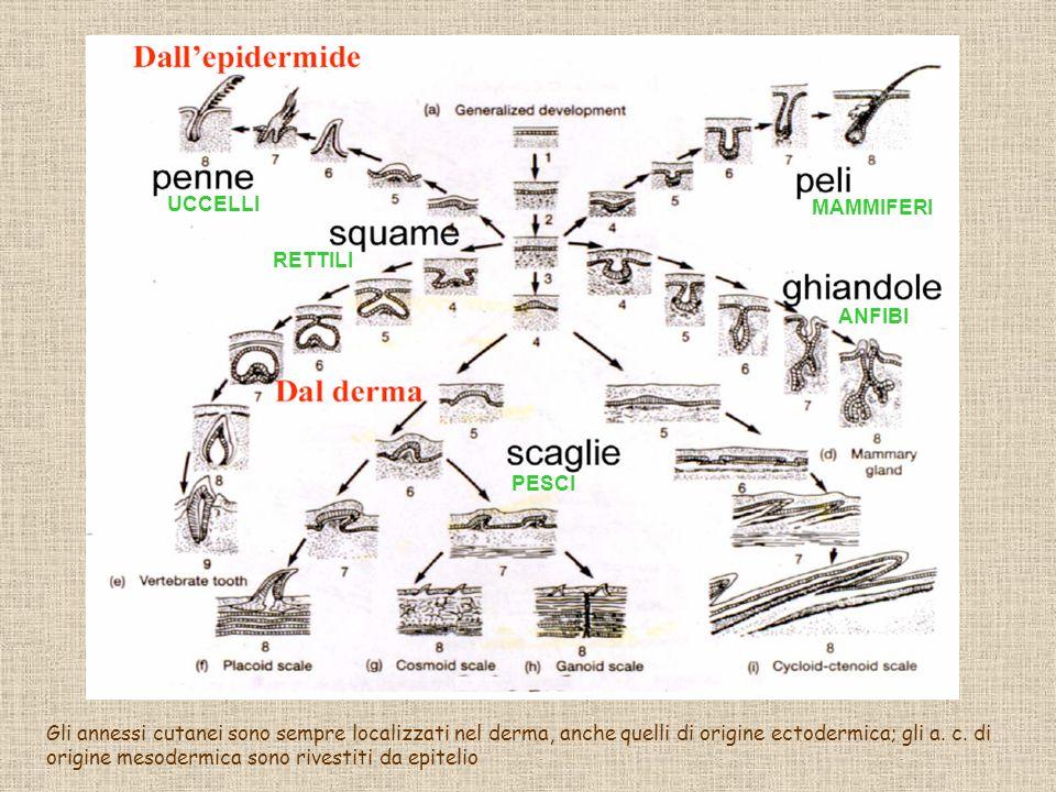 UCCELLI RETTILI MAMMIFERI ANFIBI PESCI Gli annessi cutanei sono sempre localizzati nel derma, anche quelli di origine ectodermica; gli a. c. di origin