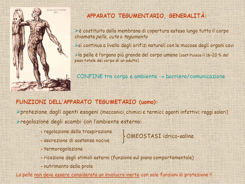 STRUTTURA DELLA PELLE EPIDERMIDE (t.epiteliale) DERMA (t.