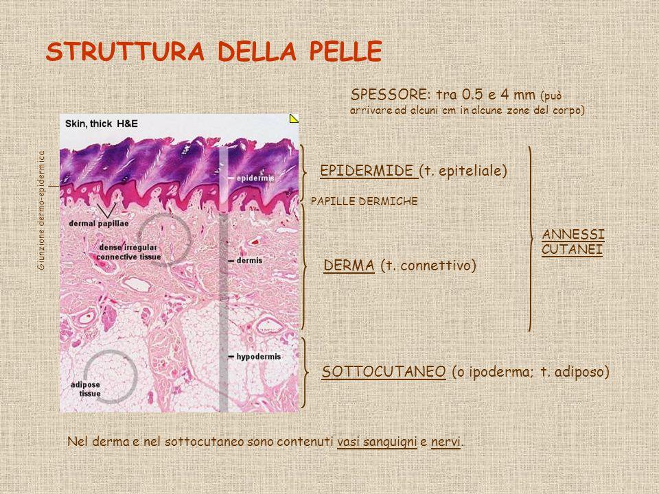 UCCELLI RETTILI MAMMIFERI ANFIBI PESCI Gli annessi cutanei sono sempre localizzati nel derma, anche quelli di origine ectodermica; gli a.
