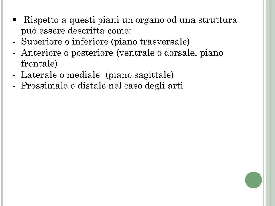 Rispetto a questi piani un organo od una struttura può essere descritta come: -Superiore o inferiore (piano trasversale) -Anteriore o posteriore (vent