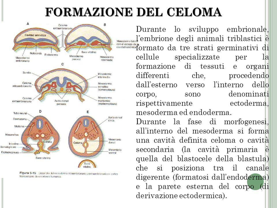 FORMAZIONE DEL CELOMA Durante lo sviluppo embrionale, lembrione degli animali triblastici è formato da tre strati germinativi di cellule specializzate