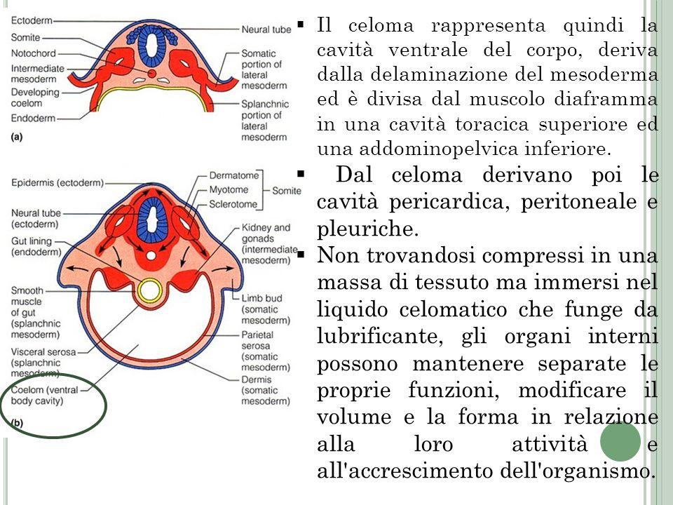 Il celoma rappresenta quindi la cavità ventrale del corpo, deriva dalla delaminazione del mesoderma ed è divisa dal muscolo diaframma in una cavità to