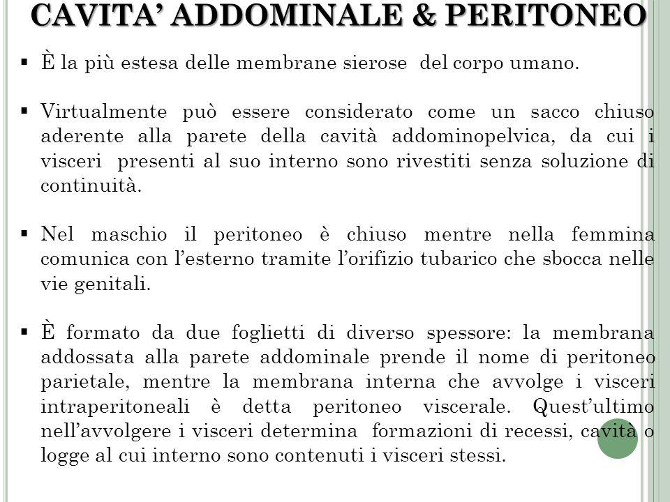 CAVITA ADDOMINALE & PERITONEO È la più estesa delle membrane sierose del corpo umano. Virtualmente può essere considerato come un sacco chiuso aderent