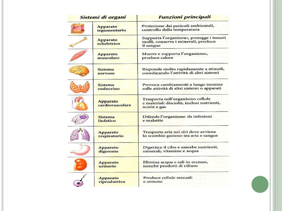 I CAPILLARI Vasi piccoli e delicati, costituiti da uno strato endoteliare circondato da una sottile lamina basale.