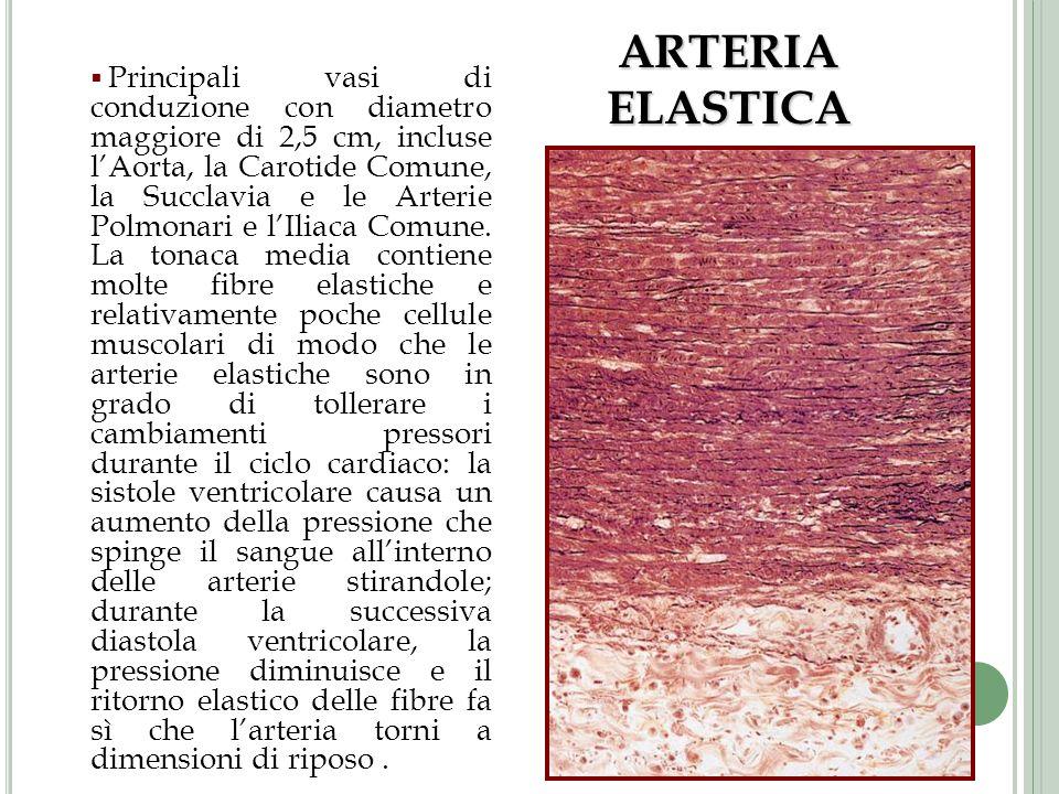 Principali vasi di conduzione con diametro maggiore di 2,5 cm, incluse lAorta, la Carotide Comune, la Succlavia e le Arterie Polmonari e lIliaca Comun