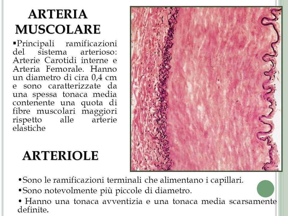 Principali ramificazioni del sistema arterioso: Arterie Carotidi interne e Arteria Femorale. Hanno un diametro di cira 0,4 cm e sono caratterizzate da