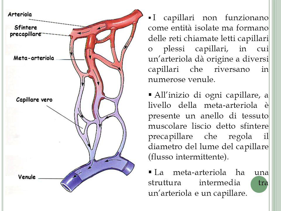 Arteriola Sfintere precapillare Meta-arteriola Capillare vero Venule I capillari non funzionano come entità isolate ma formano delle reti chiamate let