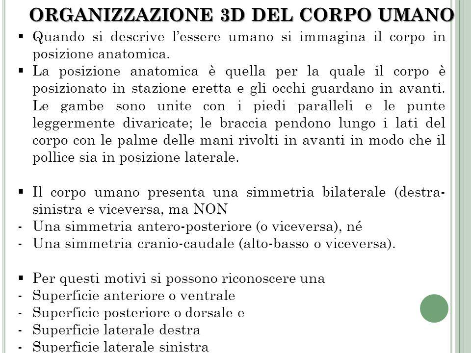 ORGANIZZAZIONE 3D DEL CORPO UMANO Quando si descrive lessere umano si immagina il corpo in posizione anatomica. La posizione anatomica è quella per la