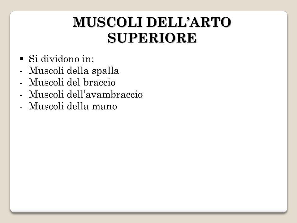 MUSCOLI DELLARTO SUPERIORE Si dividono in: -Muscoli della spalla -Muscoli del braccio -Muscoli dellavambraccio -Muscoli della mano