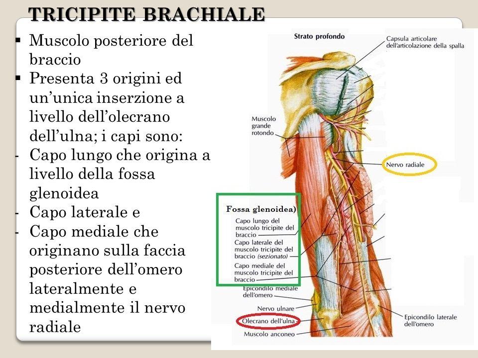 TRICIPITE BRACHIALE Muscolo posteriore del braccio Presenta 3 origini ed ununica inserzione a livello dellolecrano dellulna; i capi sono: -Capo lungo