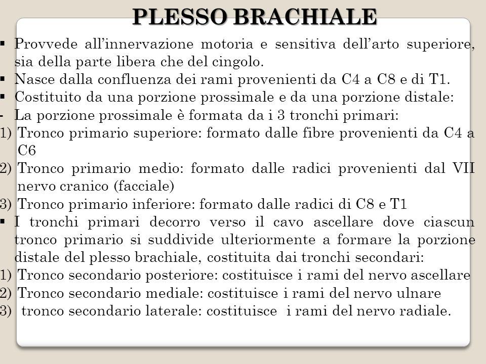 PLESSO BRACHIALE Provvede allinnervazione motoria e sensitiva dellarto superiore, sia della parte libera che del cingolo. Nasce dalla confluenza dei r