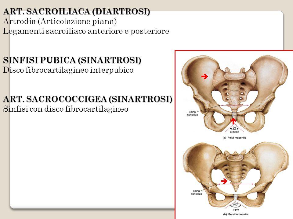 ART. SACROILIACA (DIARTROSI) Artrodia (Articolazione piana) Legamenti sacroiliaco anteriore e posteriore SINFISI PUBICA (SINARTROSI) Disco fibrocartil