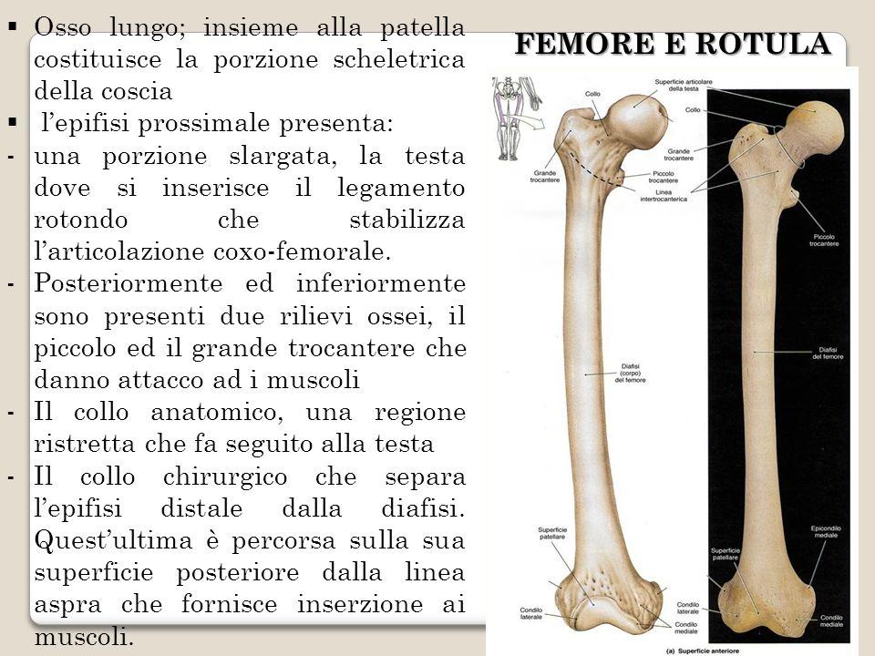 FEMORE E ROTULA Osso lungo; insieme alla patella costituisce la porzione scheletrica della coscia lepifisi prossimale presenta: -una porzione slargata