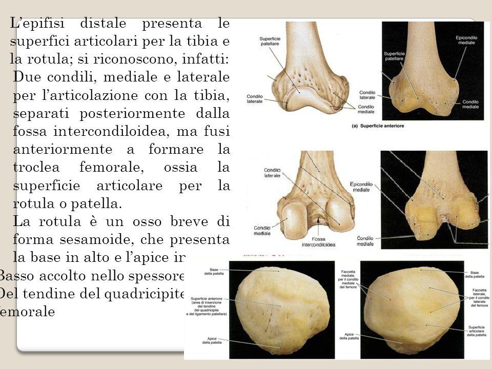 Lepifisi distale presenta le superfici articolari per la tibia e la rotula; si riconoscono, infatti: -Due condili, mediale e laterale per larticolazio