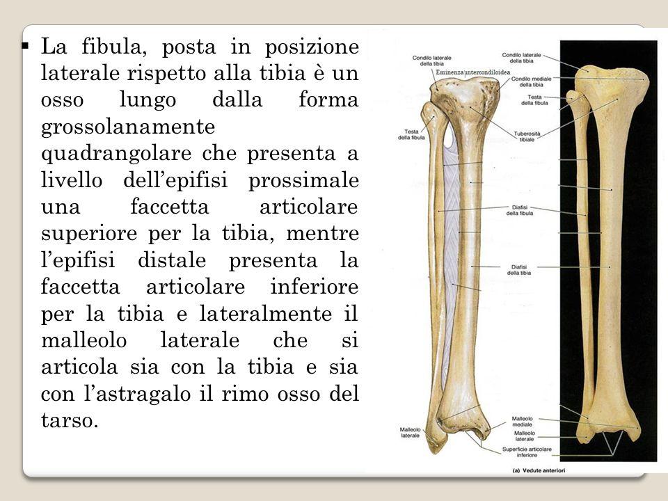 La fibula, posta in posizione laterale rispetto alla tibia è un osso lungo dalla forma grossolanamente quadrangolare che presenta a livello dellepifis
