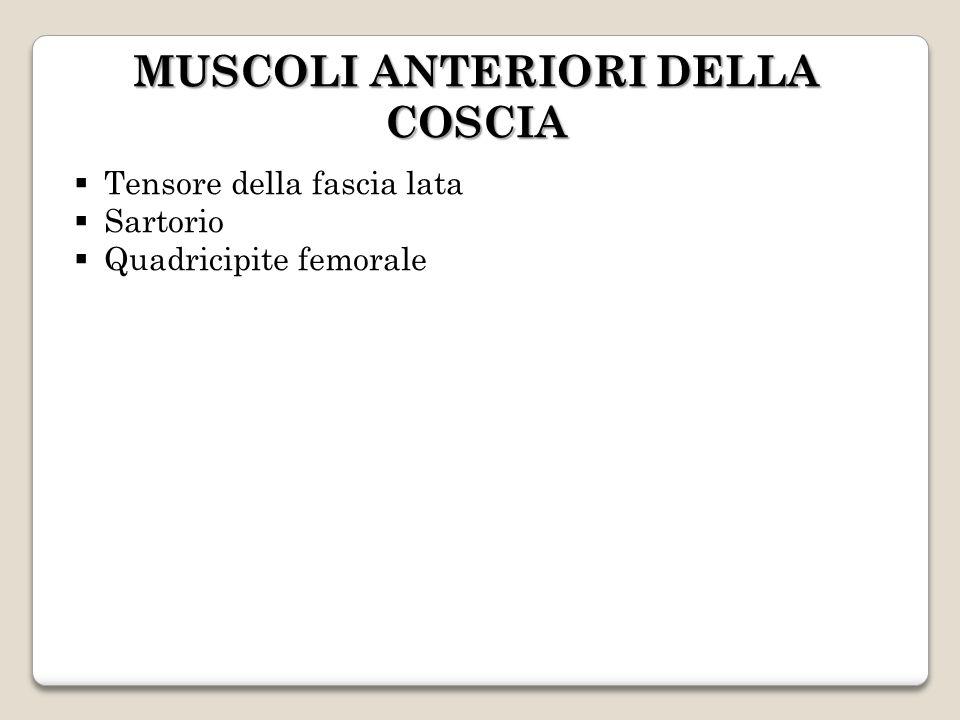 MUSCOLI ANTERIORI DELLA COSCIA Tensore della fascia lata Sartorio Quadricipite femorale
