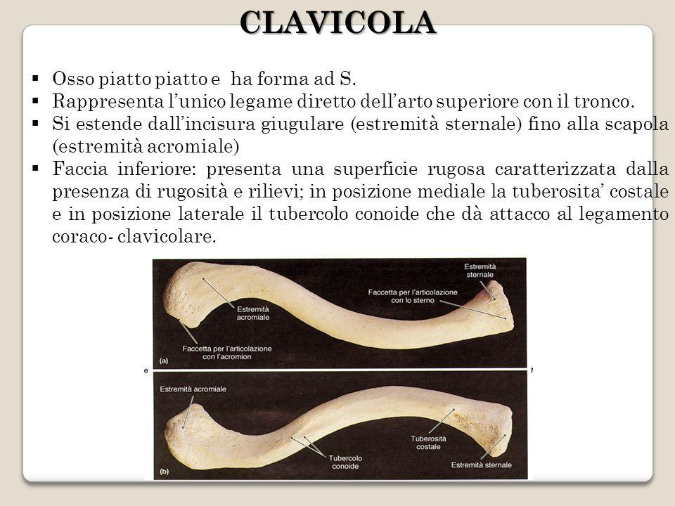 Osso piatto piatto e ha forma ad S. Rappresenta lunico legame diretto dellarto superiore con il tronco. Si estende dallincisura giugulare (estremità s
