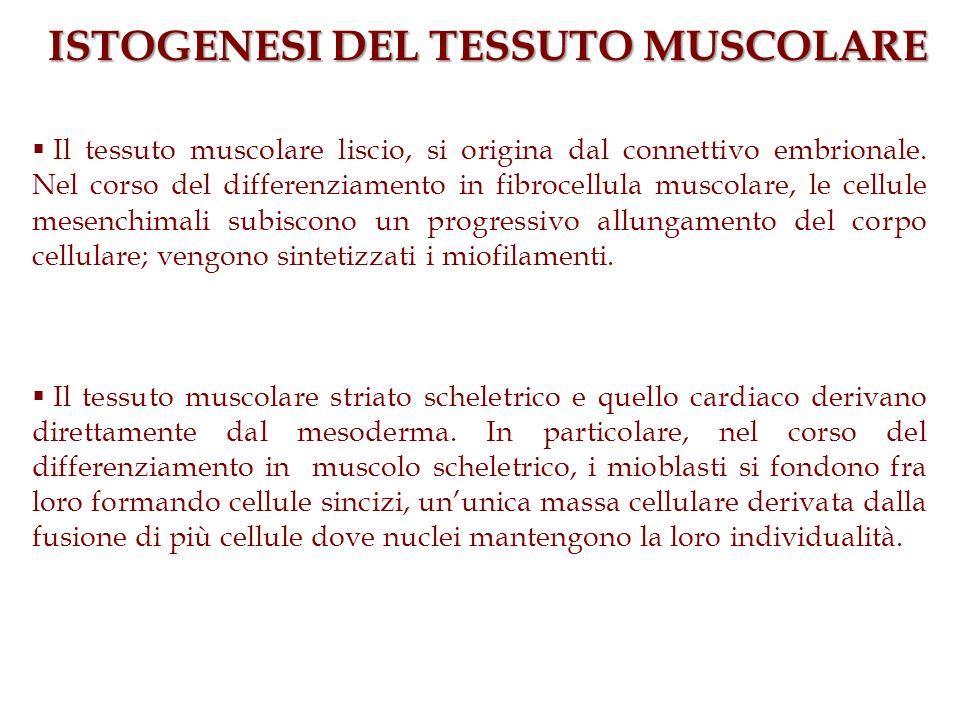 ISTOGENESI DEL TESSUTO MUSCOLARE Il tessuto muscolare liscio, si origina dal connettivo embrionale. Nel corso del differenziamento in fibrocellula mus
