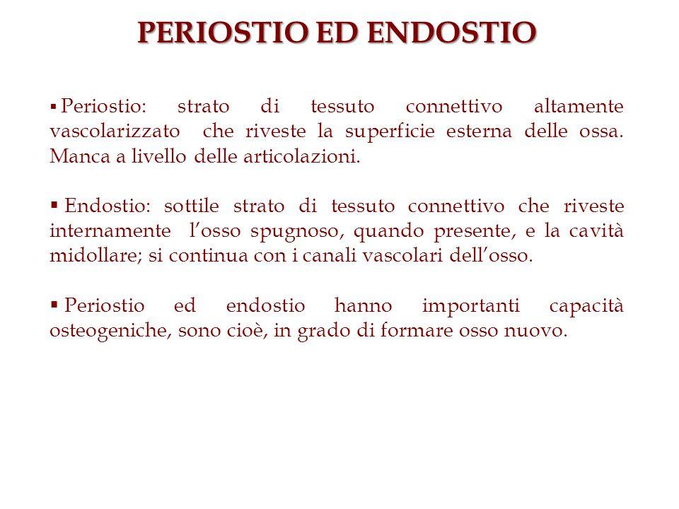 PERIOSTIO ED ENDOSTIO Periostio: strato di tessuto connettivo altamente vascolarizzato che riveste la superficie esterna delle ossa. Manca a livello d