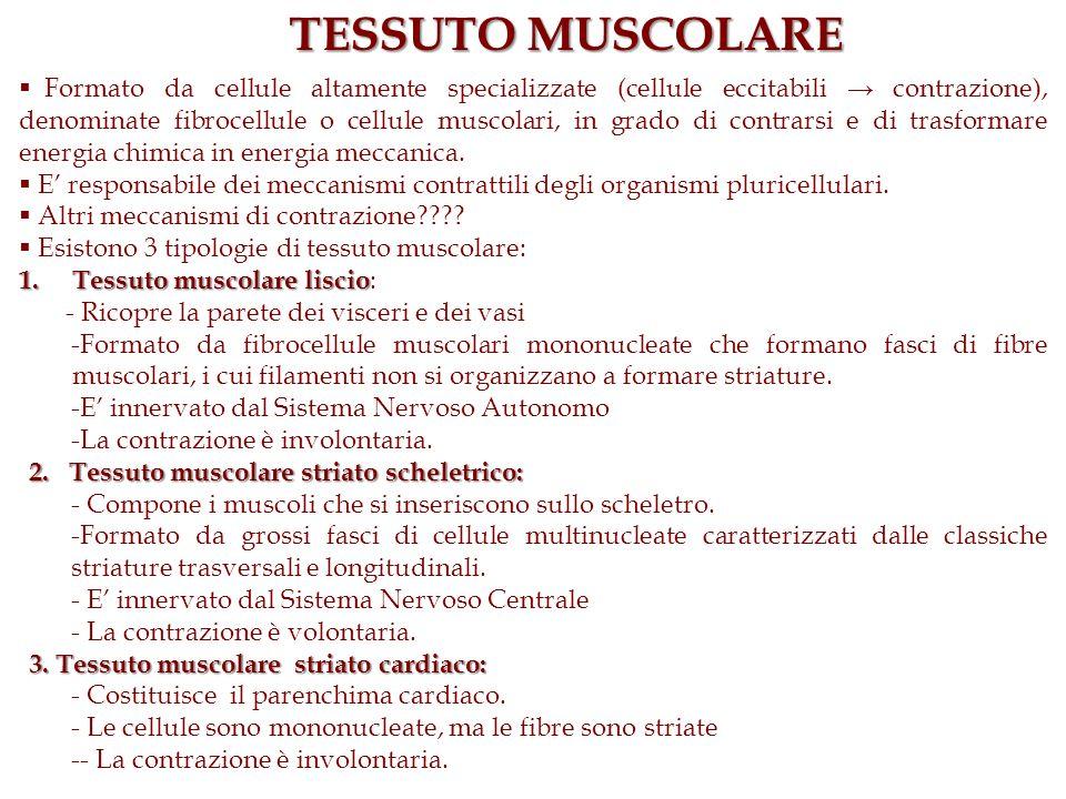 TESSUTO MUSCOLARE Formato da cellule altamente specializzate (cellule eccitabili contrazione), denominate fibrocellule o cellule muscolari, in grado d