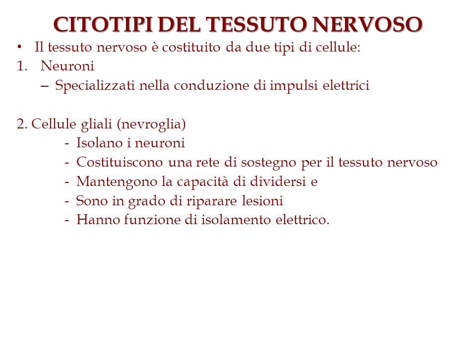CITOTIPI DEL TESSUTO NERVOSO Il tessuto nervoso è costituito da due tipi di cellule: 1.Neuroni – Specializzati nella conduzione di impulsi elettrici 2